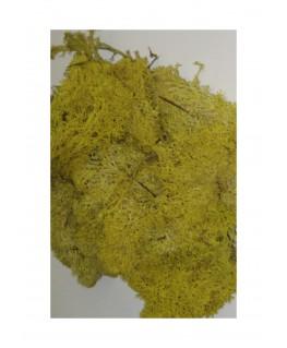 boîte de 45gr de mousse d'Islande - jaune ( 606242 )